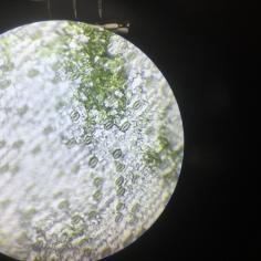 Epidermis through the microscope showing stomatal pores