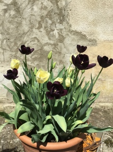 Tulip mix 'Queen of the Night' and 'Maureen,