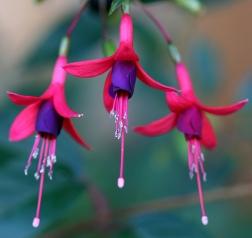 fuchsia-plants-8